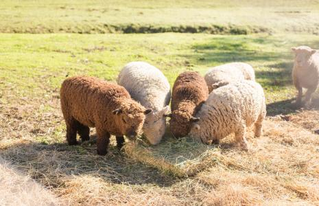 Four sheep eating in a field